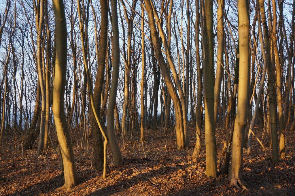 Waldstreifen an der Steilküste in Rerik an der Ostsee